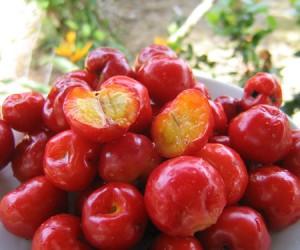 Les bienfaits antioxydant de l'acérola bio