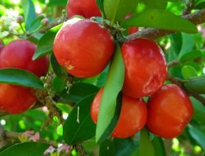 Acerola bio la meilleur source de vitamine C