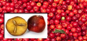 L'acérola biologique riche en vitamine